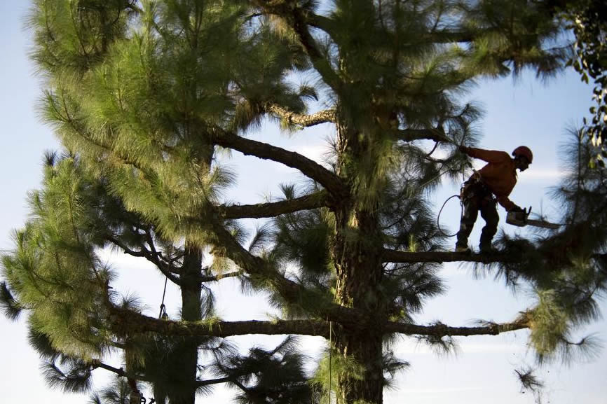 Country Club-South Florida Tree Trimming and Stump Grinding Services-We Offer Tree Trimming Services, Tree Removal, Tree Pruning, Tree Cutting, Residential and Commercial Tree Trimming Services, Storm Damage, Emergency Tree Removal, Land Clearing, Tree Companies, Tree Care Service, Stump Grinding, and we're the Best Tree Trimming Company Near You Guaranteed!