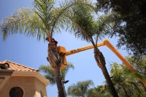 Palm Tree Trimming-South Florida Tree Trimming and Stump Grinding Services-We Offer Tree Trimming Services, Tree Removal, Tree Pruning, Tree Cutting, Residential and Commercial Tree Trimming Services, Storm Damage, Emergency Tree Removal, Land Clearing, Tree Companies, Tree Care Service, Stump Grinding, and we're the Best Tree Trimming Company Near You Guaranteed!